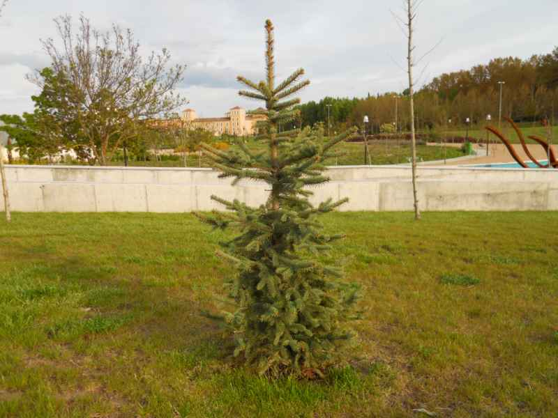 Picea pungens 1