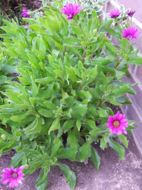 Osteospermum ecklonis v 1
