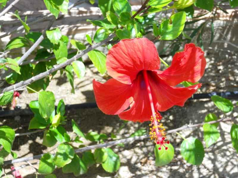 Hibiscus rosa sinensis 'Bordeaux' flor 3