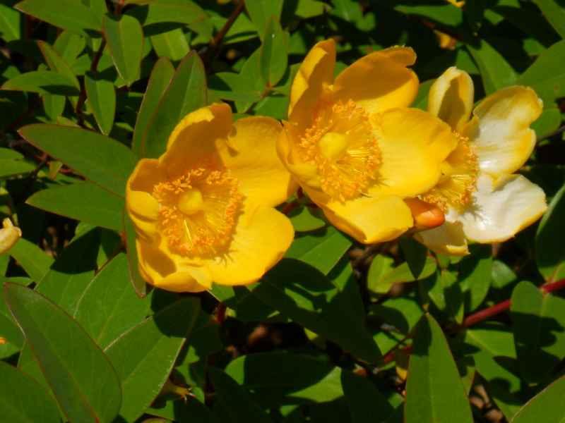 Hypericum hoockerianum 'Hidcote' 1