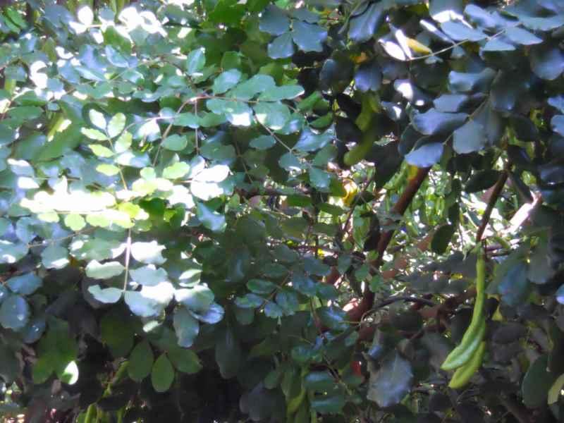 Ceratonia siliqua hojas 5