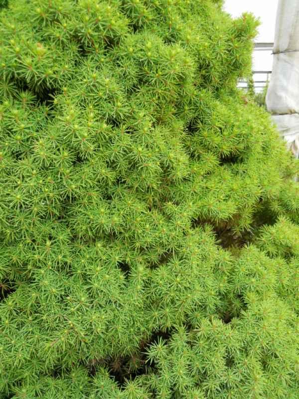 Picea glauca 'Conica' v 2