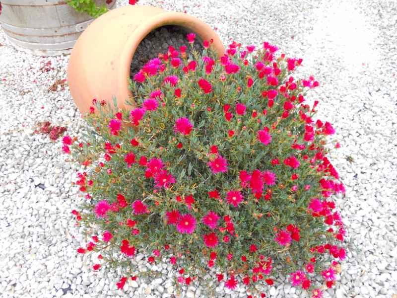 Jardineros en acci n plantas para jardines de climas con for Plantas jardin mediterraneo