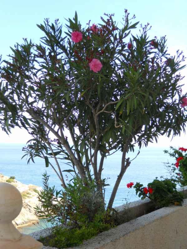 Nerium oleander 'Spendens Giganteum' v 3