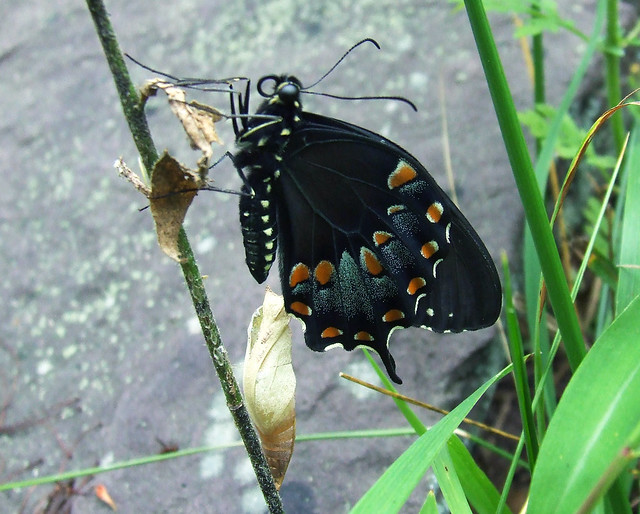 newly emerged spicebush swallowtail 1