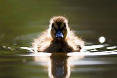 The Inquisitive Duckling