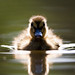 The Inquisitive Duckling by PeteDenness