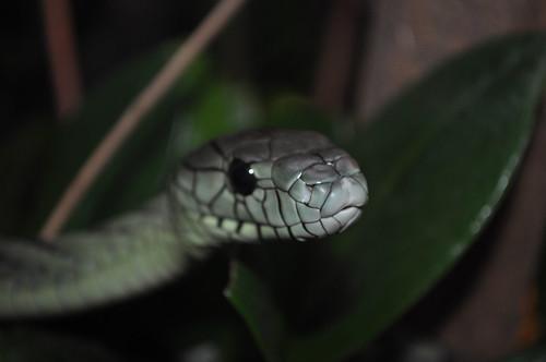 texas tarrantcounty fortworth ftworth zoo snake greenmamba poisonous venomous dendroaspisviridis fortworthzoo