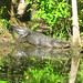 Alligator Canal   DSCN3446