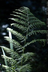 fern in our yard