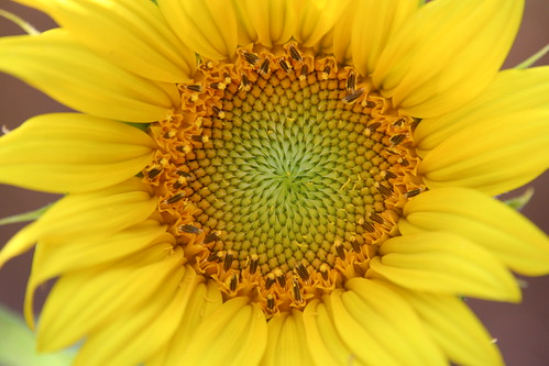Volunteer Sunflower! Gorgeous!
