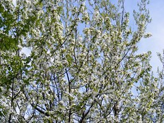 blossom, evergreen, flower, branch, tree, flora, prunus spinosa,