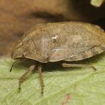 mórpoloska - Eurygaster maura
