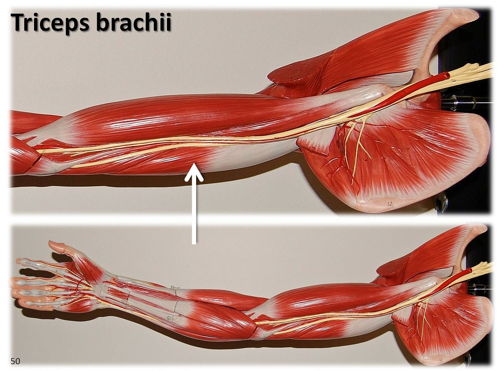 Triceps Brachii Large Arm Model Muscles Of The Upper Ex Flickr