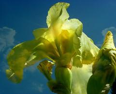 ✿ Iris lutescens ✿