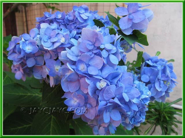 blue hydrangea macrophylla endless summer flickr. Black Bedroom Furniture Sets. Home Design Ideas