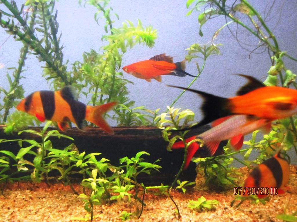 Fotos de mis peces taringa for Imagenes de peces chinos