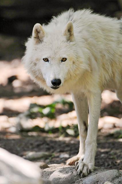 Attentive arctic wolf