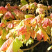 Small photo of Vine Maple, Acer circinatum