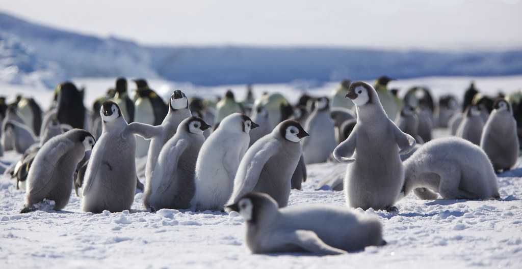 Emperor penguin chicks at play