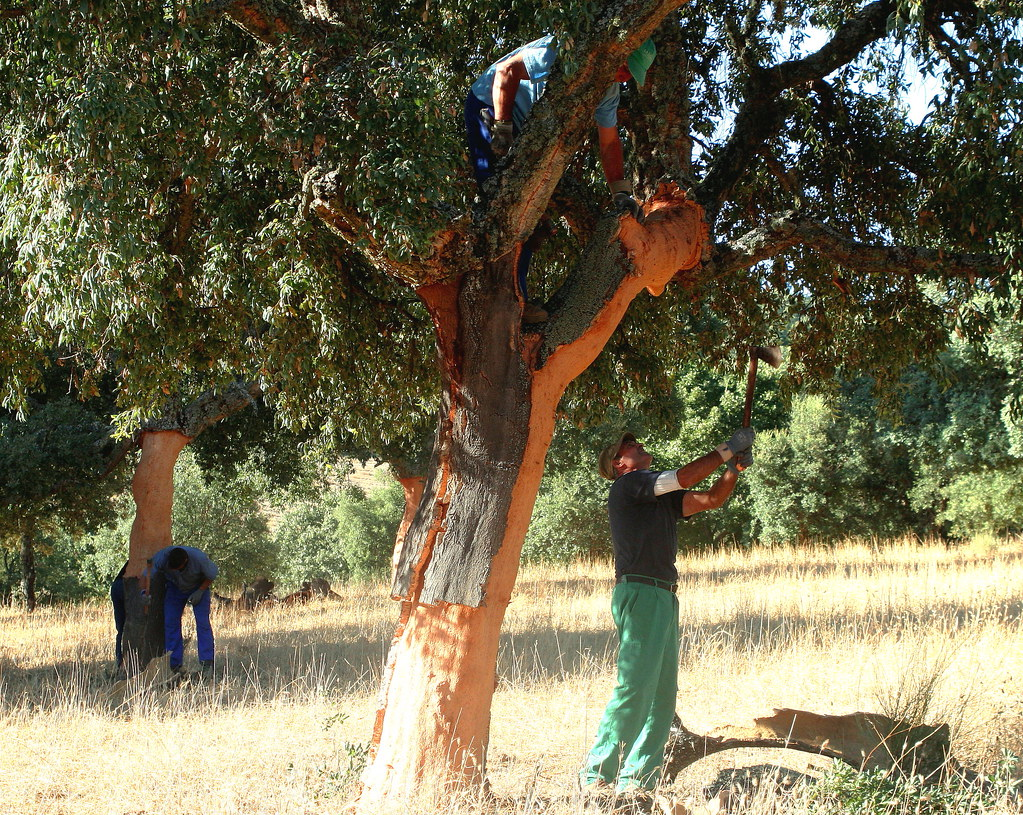 La saca del corcho. The harvesting of Cork Oak