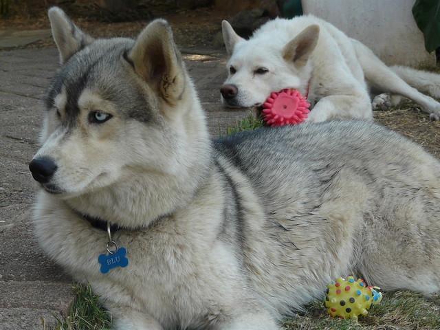 Siberian Husky Wolf Hybrid - Bing images