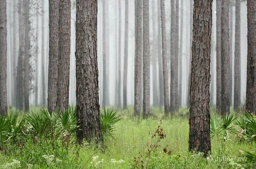 trees summer nature rain pine forest florida fl anf longleaf apalachicolanationalforest