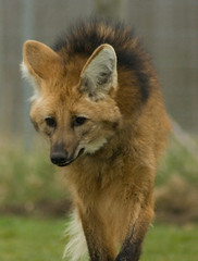 dog breed(0.0), finnish spitz(0.0), red fox(0.0), wolfdog(0.0), saarloos wolfdog(0.0), animal(1.0), red wolf(1.0), mammal(1.0), fauna(1.0), fox(1.0), dhole(1.0), kit fox(1.0), wildlife(1.0),