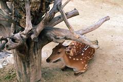 antler(0.0), trophy hunting(0.0), horn(0.0), animal(1.0), deer(1.0), fauna(1.0), white-tailed deer(1.0), wildlife(1.0),