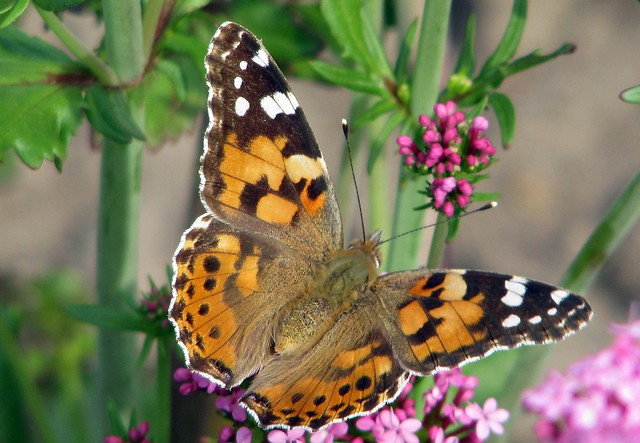 Vanessa butterfly   Flickr - Photo Sharing!