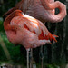 Small photo of American Flamingo