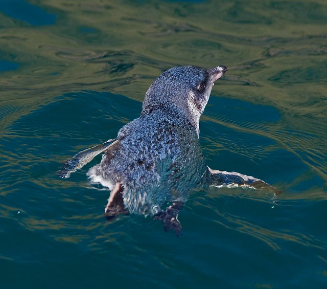 White-flippered Blue Penguin,    Eudyptula minor