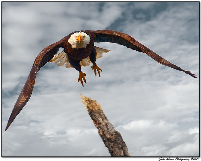 Eagle in Flight_1