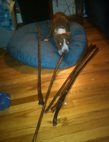deer antlers doberman forum doberman breed dog forums. Black Bedroom Furniture Sets. Home Design Ideas