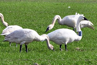 2011-02-16 Tundra Swan T533 (1024x680)