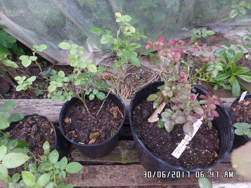 Cây hồng Scented Jewel Rose