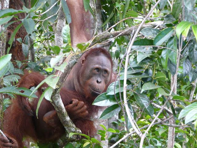 Orangután de Borneo (Indonesia)