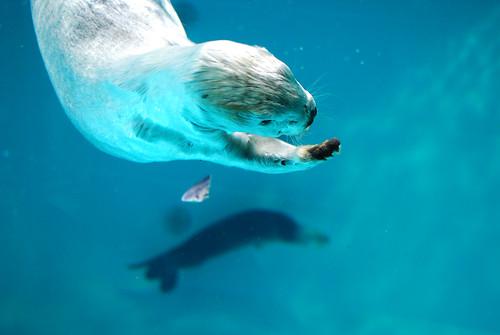 水中で泳ぐラッコ