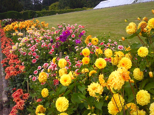 Dahlias at Cragside House