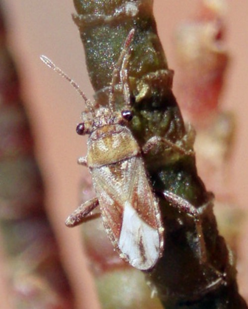 Henestaris laticeps 4958904981_b15d49c8aa_o
