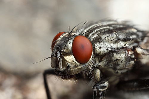 Flesh fly closeup #1