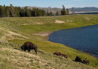 Bison on the hill by the water