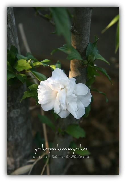 .:.:.Preferito Hibiscus.:.:.