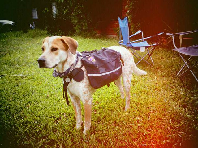 Dog wearing a camping pack in the grass