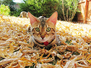 autumn bengal 3