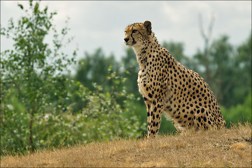Cheetah, the fastest land animal by Foto Martien