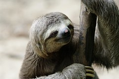 otter(0.0), animal(1.0), three toed sloth(1.0), mammal(1.0), fauna(1.0), close-up(1.0), wildlife(1.0),