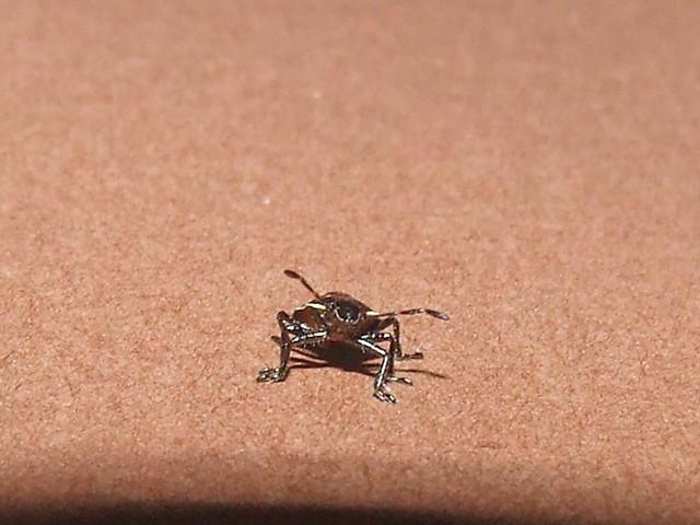 Scutelleridae Elvisurinae>Coleotichus Green Shield Backed Bug 5th ...
