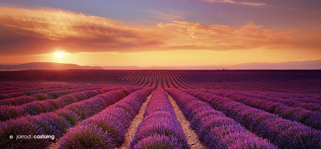 France - Provence - Lavender Fields