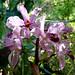 Cattleya amethystoglossa